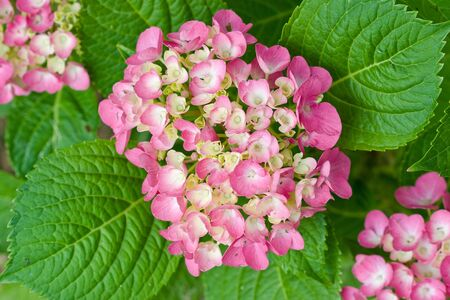 Red and yellow flowers of Hydrangea with green leaves
