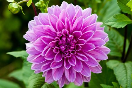 Lilac round flower of dahlia on a green background