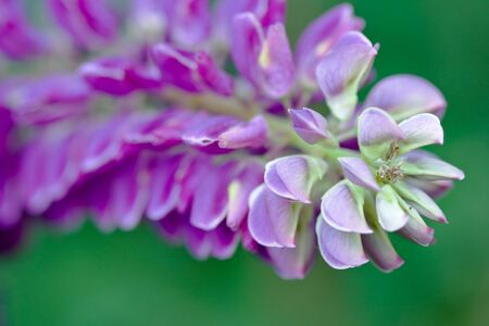 Lilac and pink flowers of lupines in summer Stock Photo