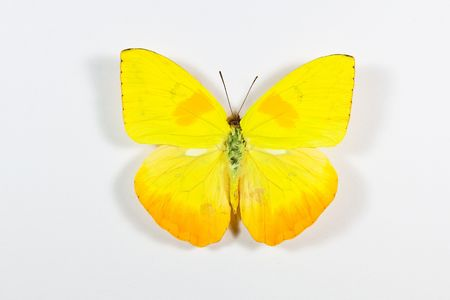 Yellow and black butterfly Phoebis philea isolated on white background