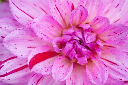 Vista de la macro de dahlia flor rosa con centro verde Foto de archivo - 6930591