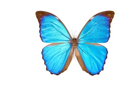 morpho menelaus: Negro y azul mariposa que Morpho menelaus aisladas sobre fondo blanco