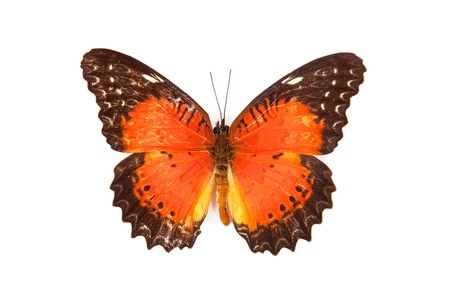biblis: Black and red butterfly Cethosia biblis isolated on white background