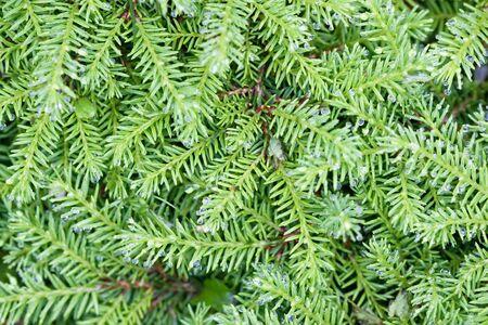 Hintergrund von grünen Niederlassungen mit Nadeltannenbaum im Sommer