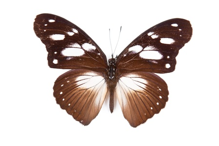Black and brown butterfly Hypolimnas dubius isolated on white background