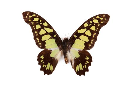 Black and green butterfly Graphium tynderaeus isolated on white background