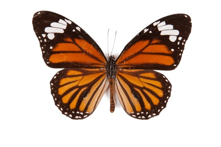 butterfly wings: Black and orange butterfly Danaus genutia isolated on white background