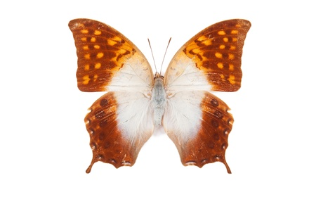 white butterfly: White and orange butterfly Charaxes acuminatus isolated on white background