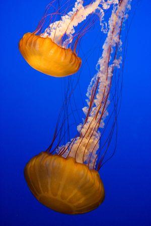 Medusas orange aquarium