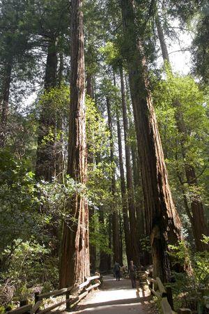 muir: Full view of sequoia Muir Woods