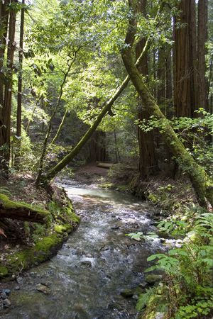 Muir Woods with river Stock Photo