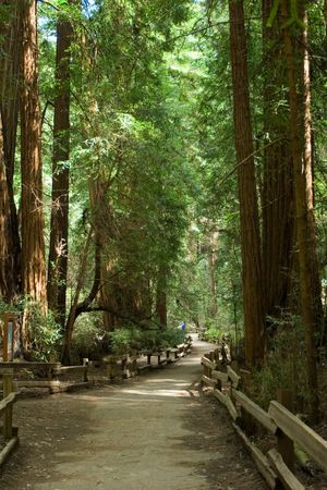 close to San Francisco you can find this forest of Sequoias trees Stock Photo