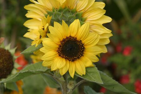 The sunflower (Helianthus annuus) is an annual plant native to the Americas in the family Asteraceae, with a large flowering head