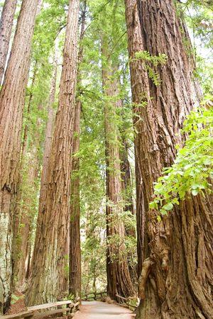 muir: Muir Woods Detail on trees