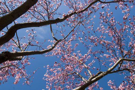 Plum Blossom trees with blue sky background