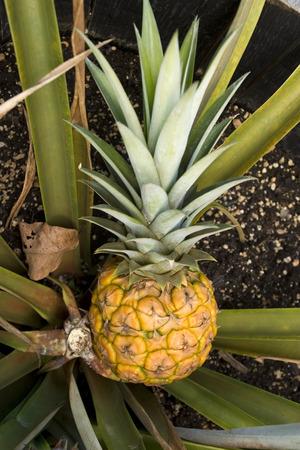 Pineapple in plant Stockfoto