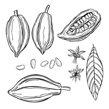 Hand drawn cocoa bean.  Vector sketch illustration  イラスト・ベクター素材