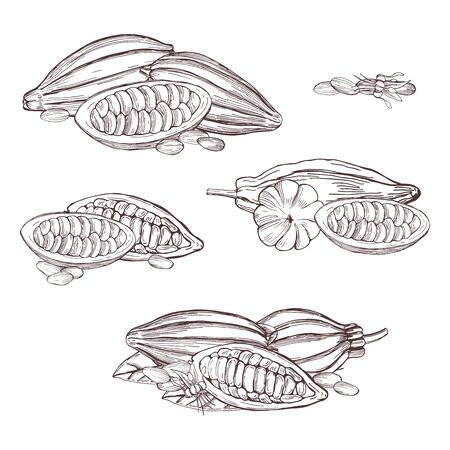 Hand drawn cocoa beans.  Vector sketch illustration  イラスト・ベクター素材