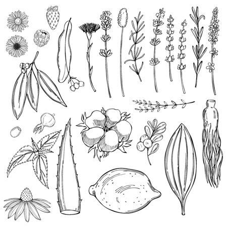 Plants for natural cosmetics. Vector sketch illustration. 矢量图像