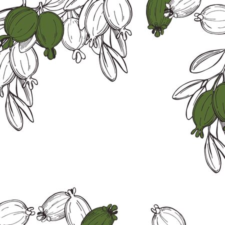 Hand drawn feijoa plant.  Feijoa fruits with leaves. Vector  background. Sketch illustration.