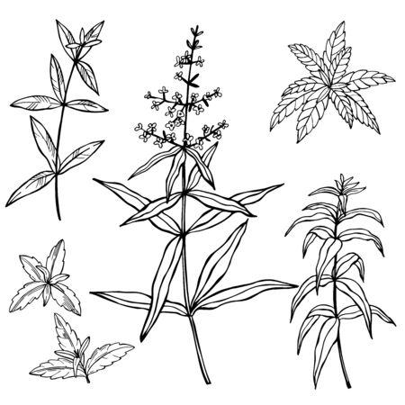 Hand drawn spicy herbs. Lemon Verbena. Vector sketch illustration. Vettoriali