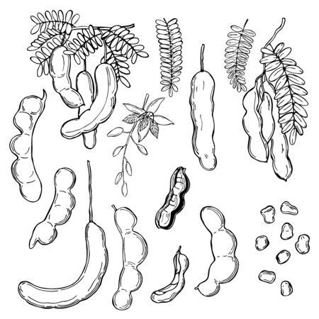 Hand drawn Tamarind (Tamarindus indica). Vector sketch illustration.