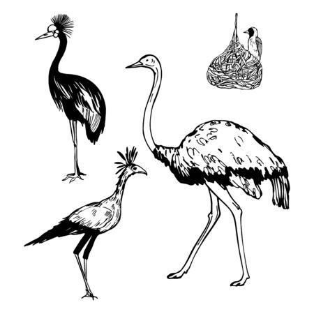 Hand drawn african birds. Grey crowned crane, ostrich, secretarybird,  weaver bird. Vector sketch illustration. Vectores