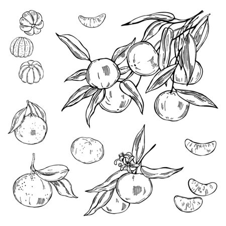 Hand drawn tangerines on white background. Vector  sketch illustration