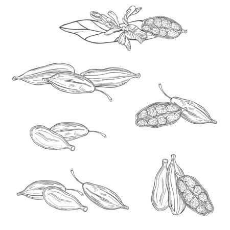 Hand drawn Cardamom plant. Vector sketch illustration 向量圖像