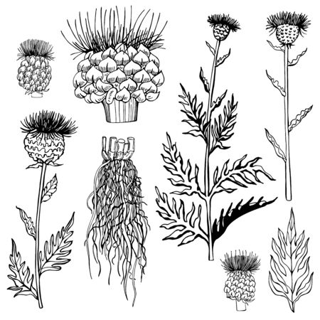 Hand drawn medical herbs. Leuzea. Maral root. Vector sketch  illustration.