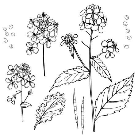 Hand-drawn mustard plant. Vector sketch illustration.