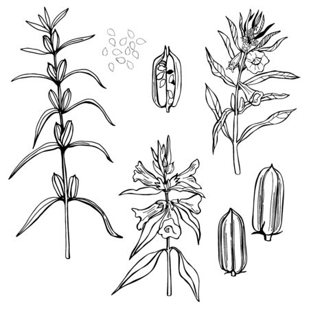 Sesame plant. Hand drawn sketch illustration Ilustración de vector