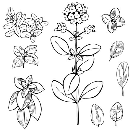 Hand drawn spicy herbs. Marjoram. Vector sketch illustration.
