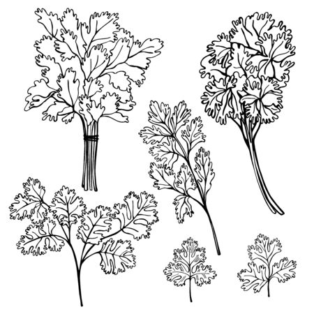 Hand drawn spicy herbs. Parsley.Vector sketch illustration.