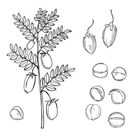 Hand drawn chickpeas beans. Vector sketch  illustration.