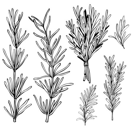 Hand drawn spicy herbs. Rosemary. Vector sketch illustration.