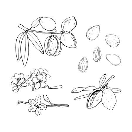 Hand drawn nuts. Almond. Vector sketch illustration.