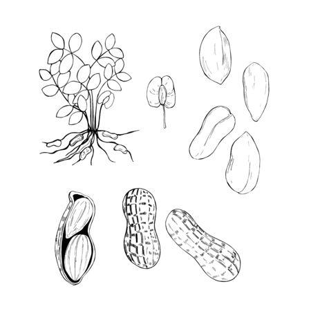 Hand drawn nuts.Peanuts. Vector sketch  illustration. Illustration
