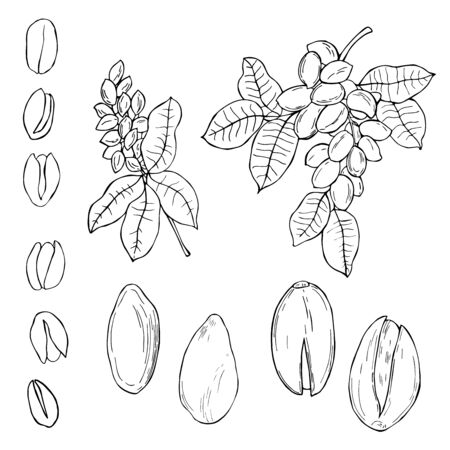 Hand drawn nuts. Pistachio. Vector sketch illustration. Ilustração Vetorial