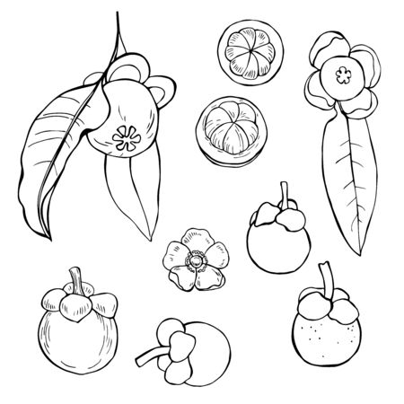 Hand drawn mangosteen. Vector sketch illustration.