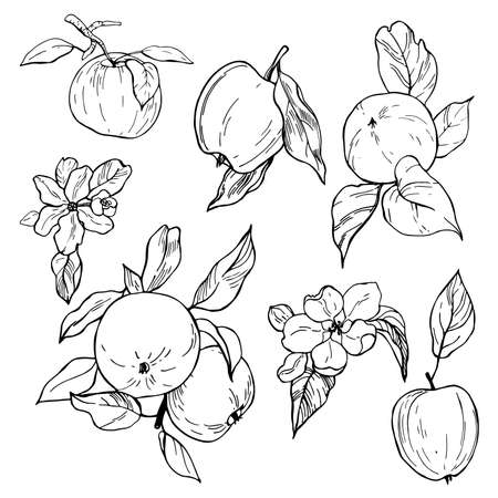 Hand drawn apples. Fruits and flowers. Vector sketch illustration.