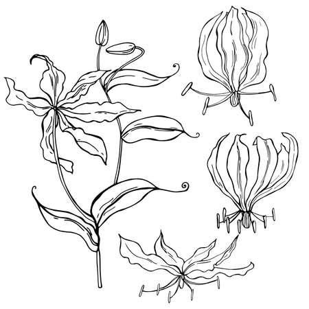 Hand drawn gloriosa flower. Vector sketch illustration.