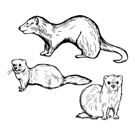 Hand drawn ferret on white background. Vector sketch illustration. Standard-Bild - 151215153