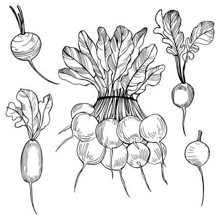 Hand drawn radish on white background. Vector sketch illustration.