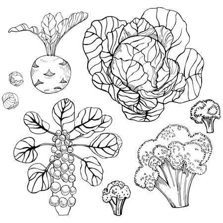 Hand drawn cabbage on white background. Vector sketch illustration. Stock Illustratie