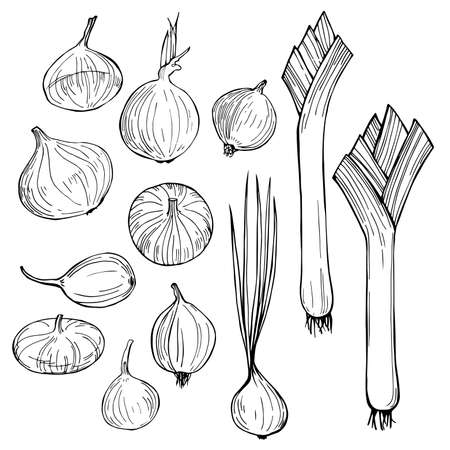 Onions. Hand drawn vegetables on white background. Vector sketch illustration.