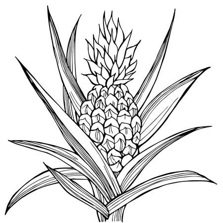 Hand drawn pineapple plant. Vector sketch illustration