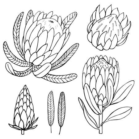 Hand-drawn flowers protea. Vector sketch illustration. 向量圖像
