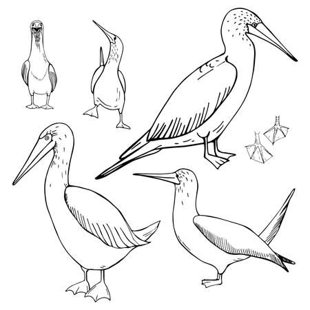 Hand drawn gannet. Vector sketch illustration 向量圖像