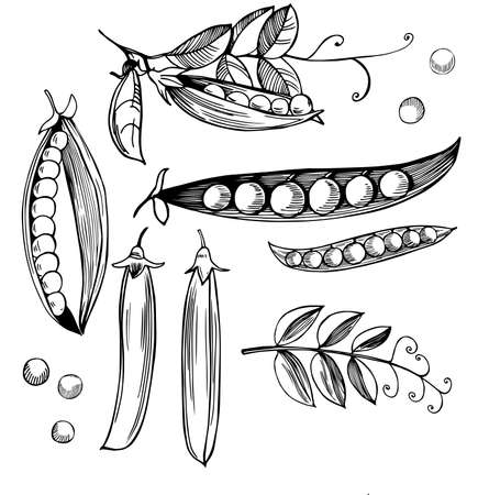 Hand drawn peas. Vector sketch illustration. 向量圖像